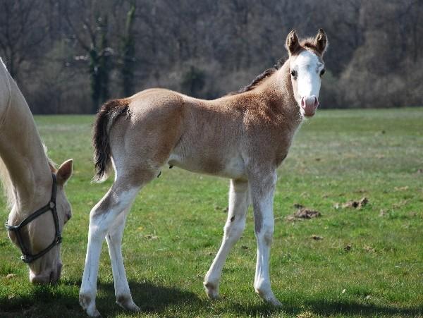 LGH Breeding, élevage de Quarter et Paint Horse et Pur sang anglais de couleur Dsc_0610