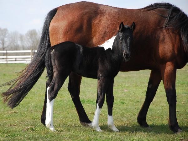 LGH Breeding, élevage de Quarter et Paint Horse et Pur sang anglais de couleur Dsc_0611