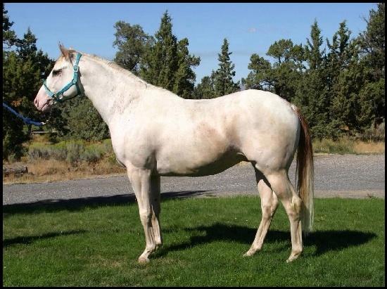 LGH Breeding, élevage de Quarter et Paint Horse et Pur sang anglais de couleur Paint_10