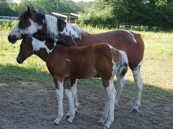 LGH Breeding, élevage de Quarter et Paint Horse et Pur sang anglais de couleur Royal_10