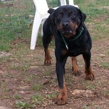 Titos Rottweiler miniature de 1,5ans (72) Titos_10