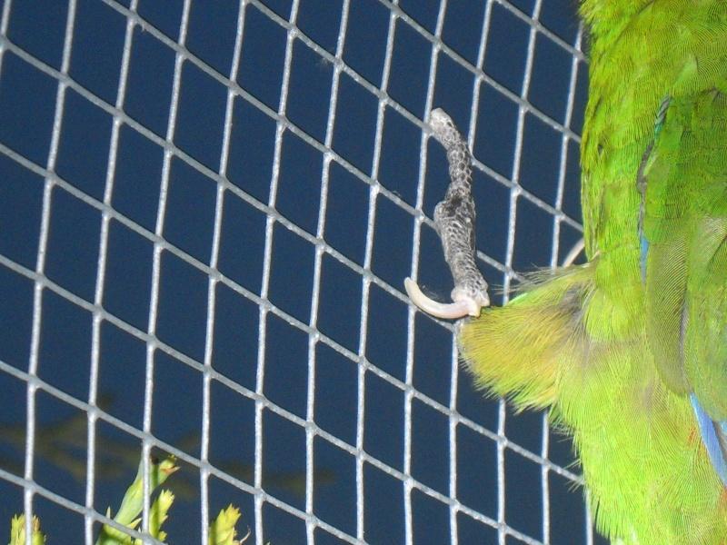 Une chute en cage, une patte inerte pour ma femelle kak Photo101