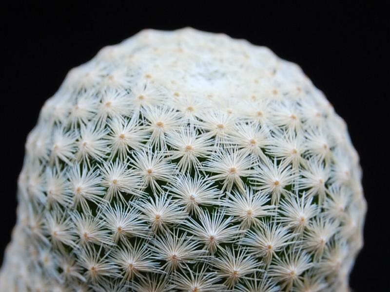 Mammillaria albiflora 2229-a13