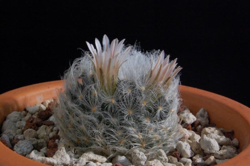 Mammillaria aureilanata      2231-a10