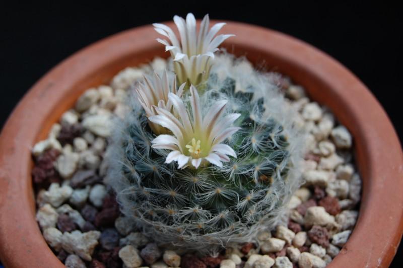 Mammillaria aureilanata      2231-a11