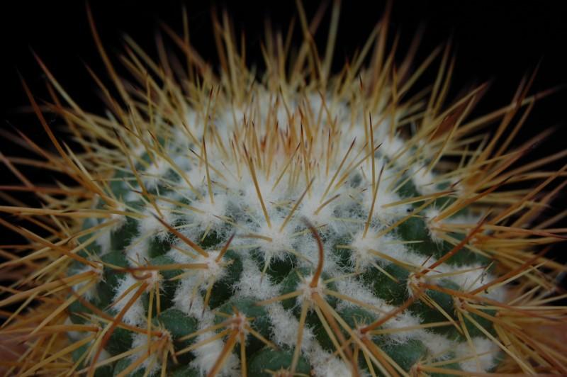 Mammillaria apozolensis    2264-a11