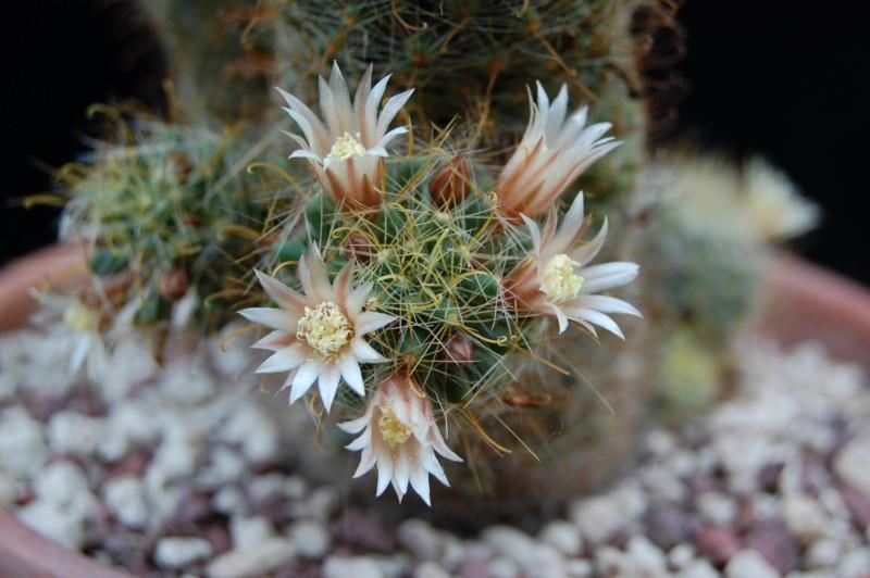 Mammillaria crinita 2432-211