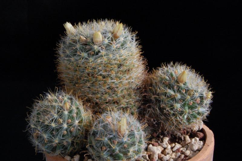 Mammillaria brevicrinita 2475-b12