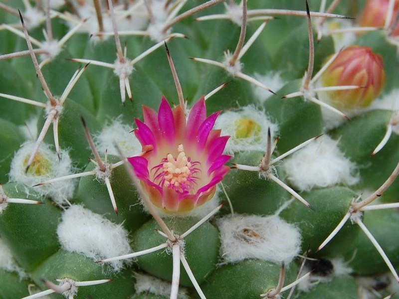 Mammillaria compressa 2486-c12