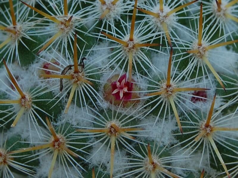Mammillaria columbiana 2549-213