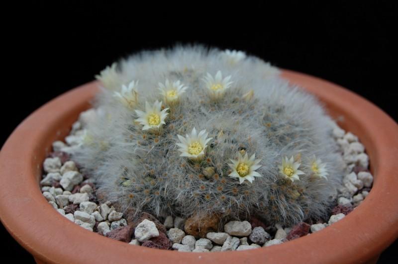 Mammillaria albicoma 2576-211