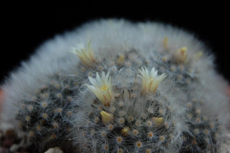 Mammillaria albicoma 2576-212