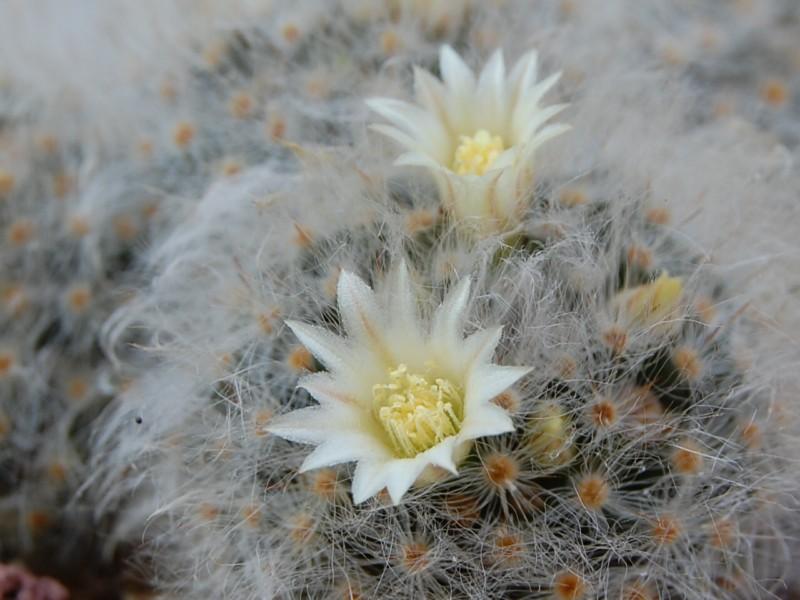 Mammillaria albicoma 2576-213