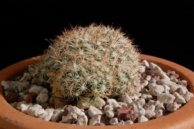 Mammillaria blossfeldiana 2584-b10