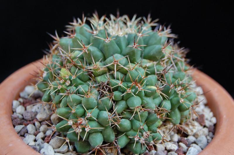 Mammillaria crassimammillis 2609-210