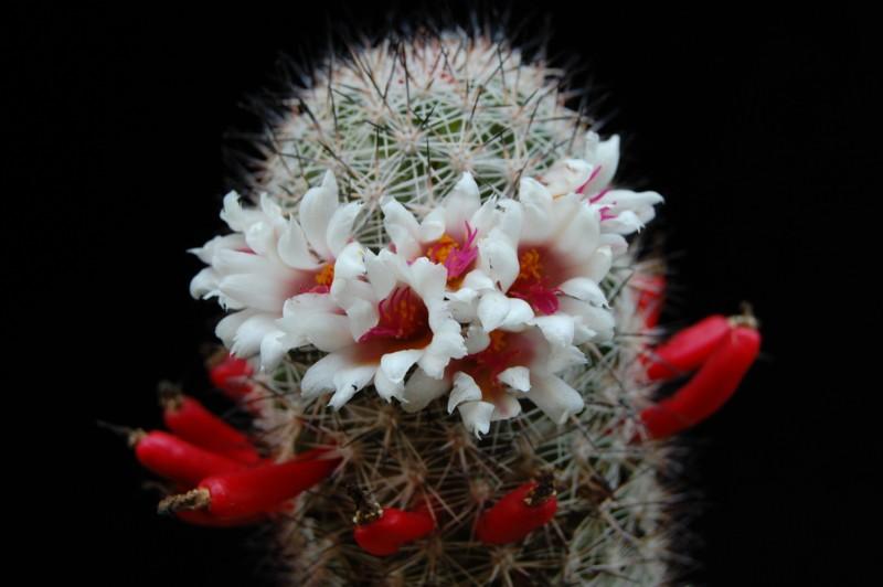 Mammillaria albicans 2622-a13