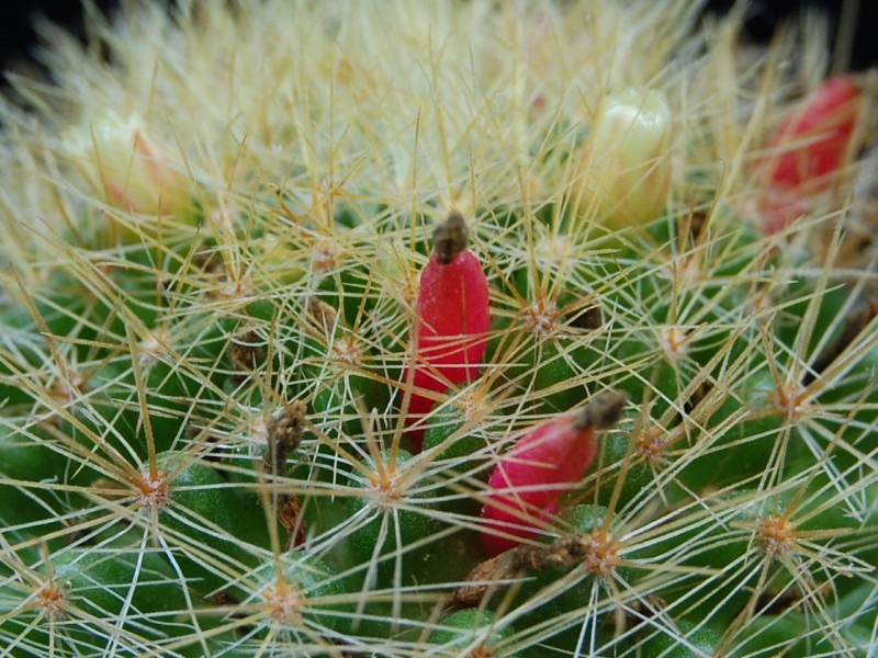 Mammillaria anniana        2636an11