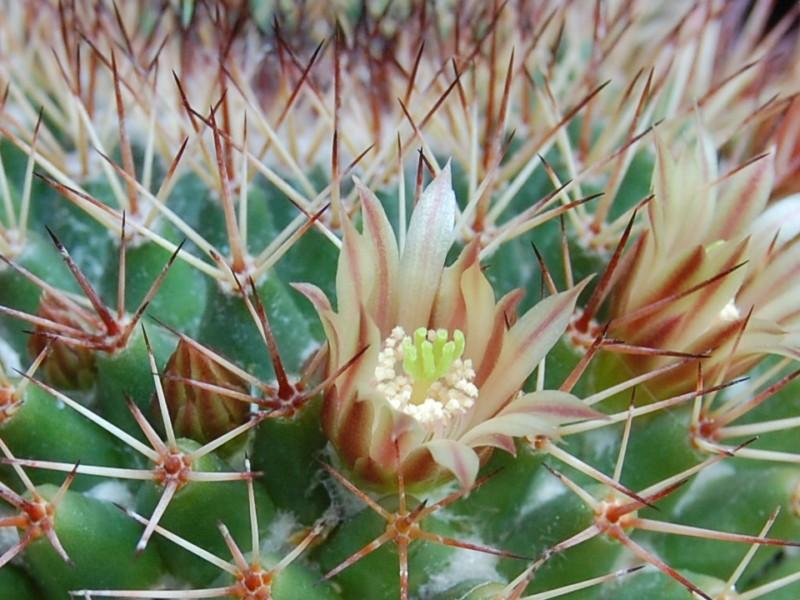 Mammillaria bocensis 2753-b12