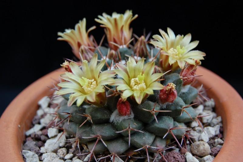 Mammillaria crassimammillis 2754-213