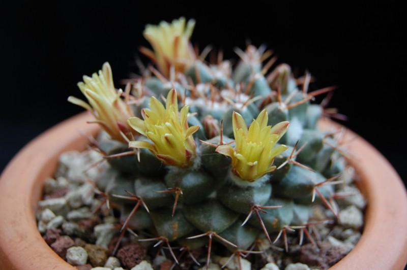 Mammillaria crassimammillis 2754-215
