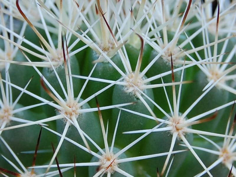 Mammillaria armillata        2862-a11