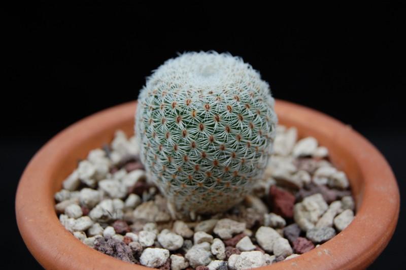 Mammillaria crucigera 2906-210