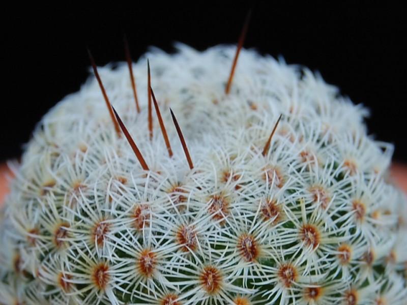 Mammillaria crucigera 2907-210