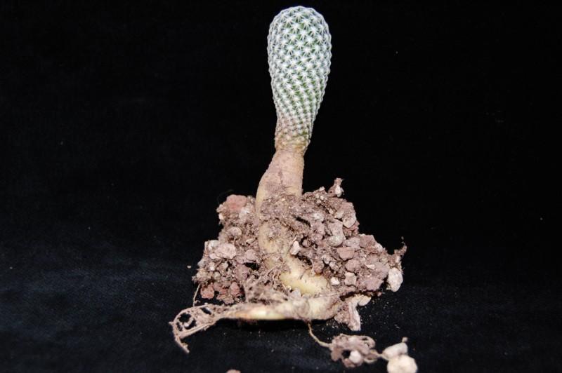 Mammillaria albiflora 3060-a10