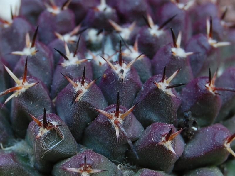 Mammillaria abracelaya      3119-213