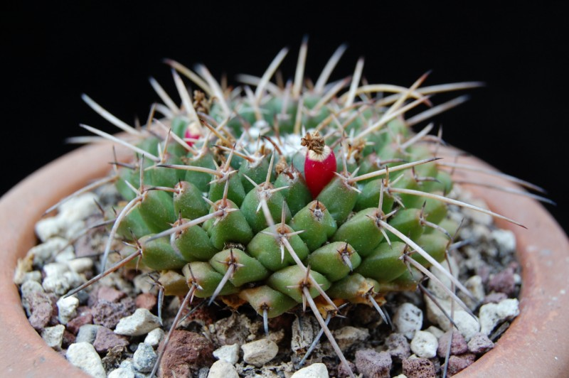 Mammillaria bucareliensis 3146-b13