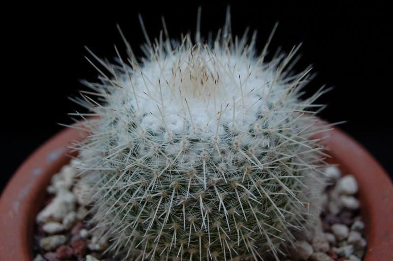 Mammillaria albata 3309-a12