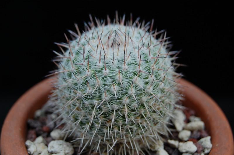 Mammillaria albata 3334-a10