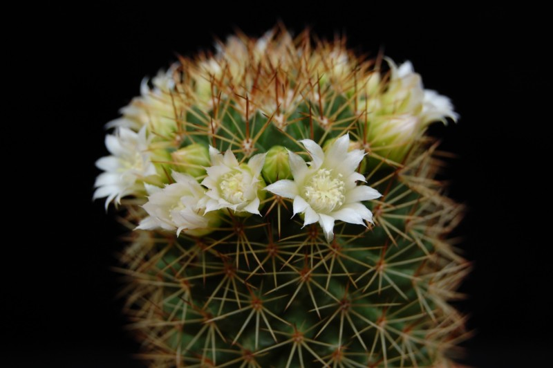 Mammillaria backebergiana 746-ba11