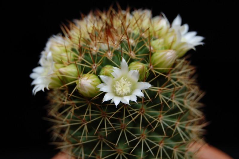 Mammillaria backebergiana 746-ba12