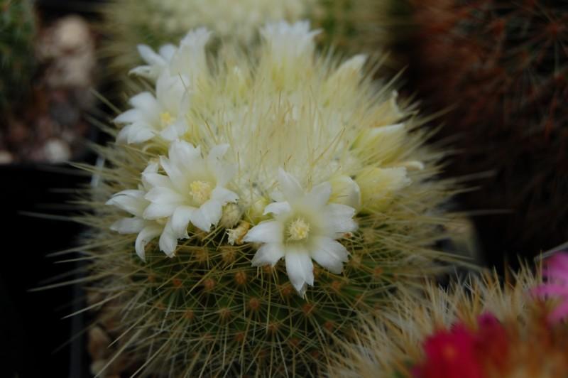 Mammillaria crassior Crassi11