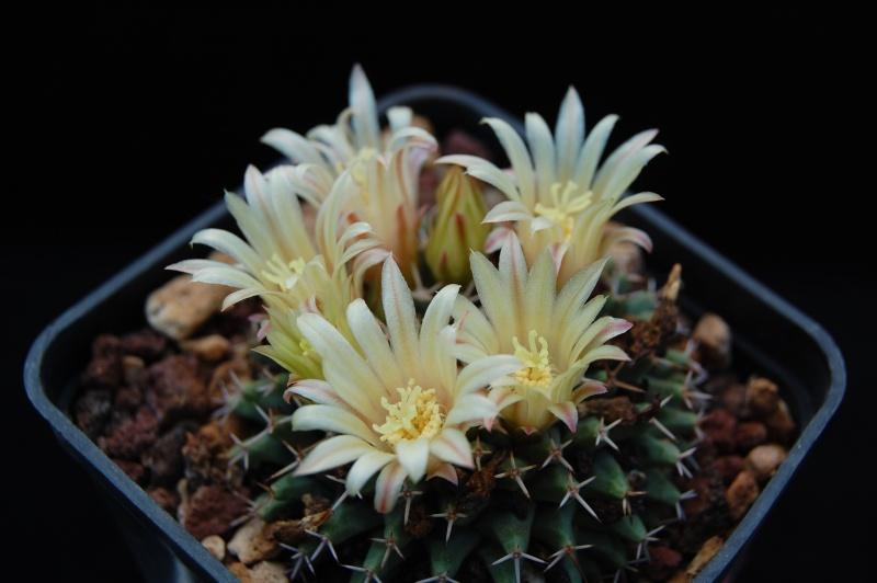 Mammillaria peninsularis Dsc_0012