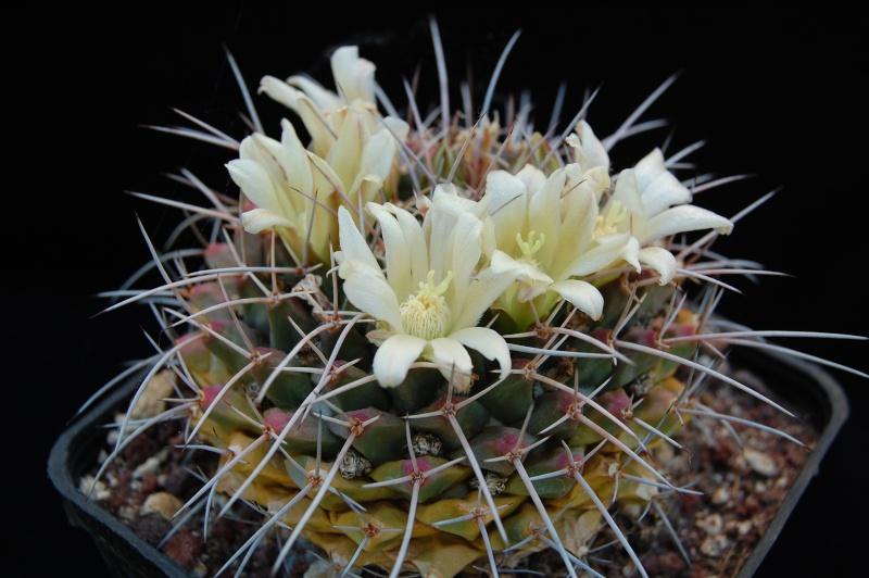 Mammillaria winterae  Dsc_0016