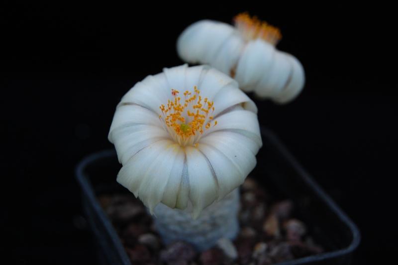 Mammillaria albiflora Dsc_0025