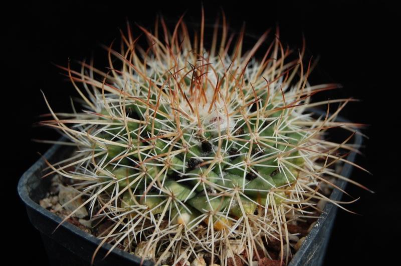 Mammillaria wagneriana Gigant10