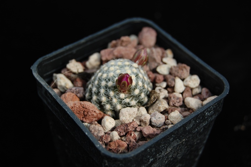 Mammillaria saboae Saboae10