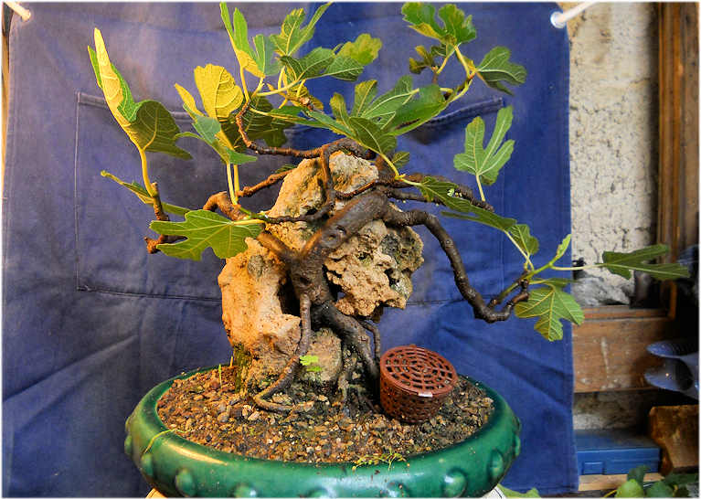Da Macro a Micro - Ficus carica a go-go 03-110