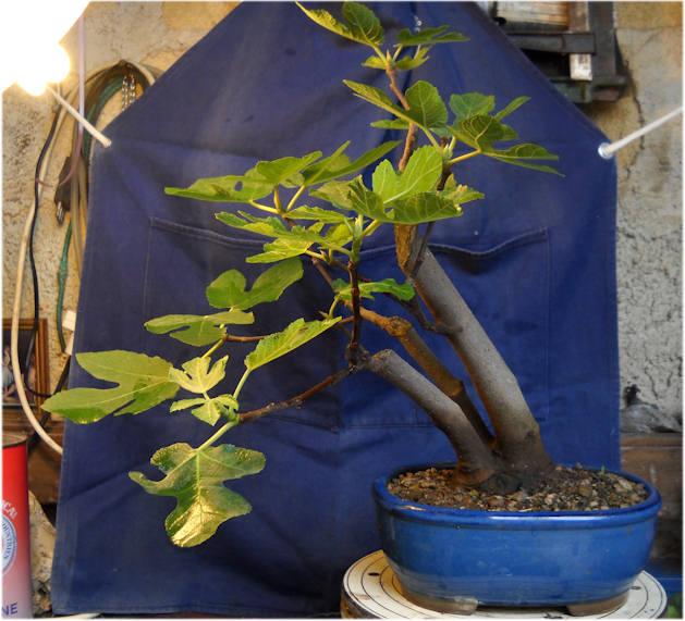 Da Macro a Micro - Ficus carica a go-go 0510