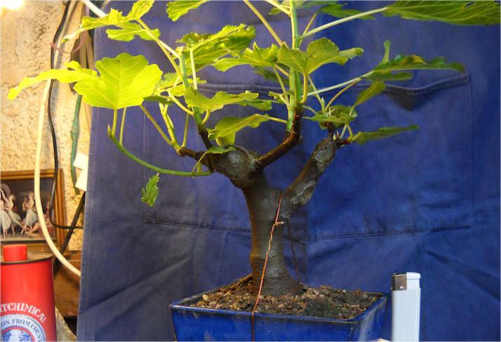 Da Macro a Micro - Ficus carica a go-go 1010