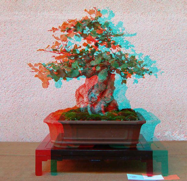 Mostra bonsai Club Palermo Carrub10