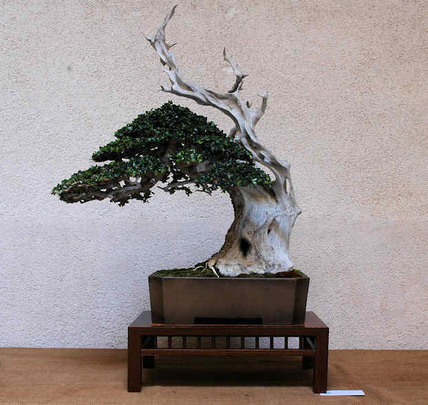 Mostra bonsai Club Palermo Immagi10
