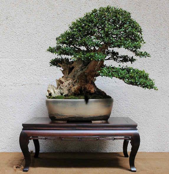 Mostra bonsai Club Palermo Immagi11