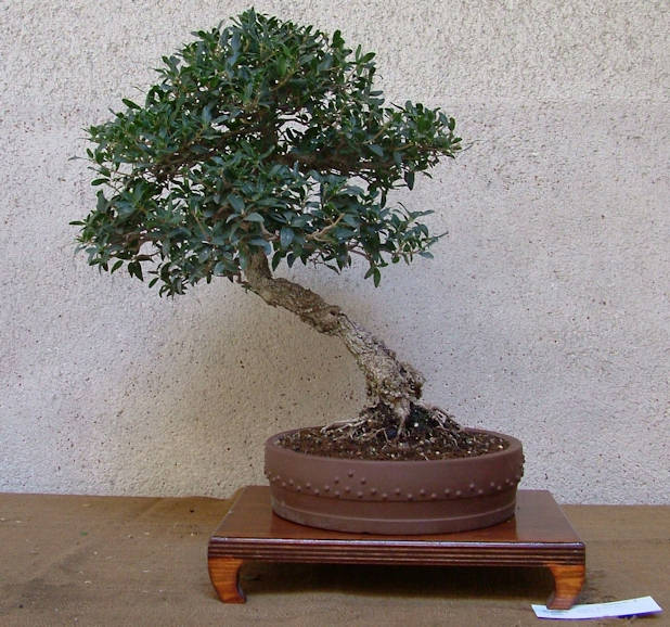 Mostra bonsai Club Palermo Immagi17
