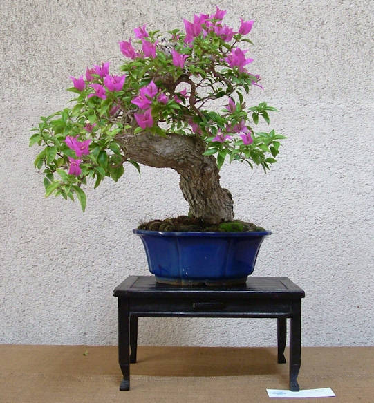 Mostra bonsai Club Palermo Immagi18