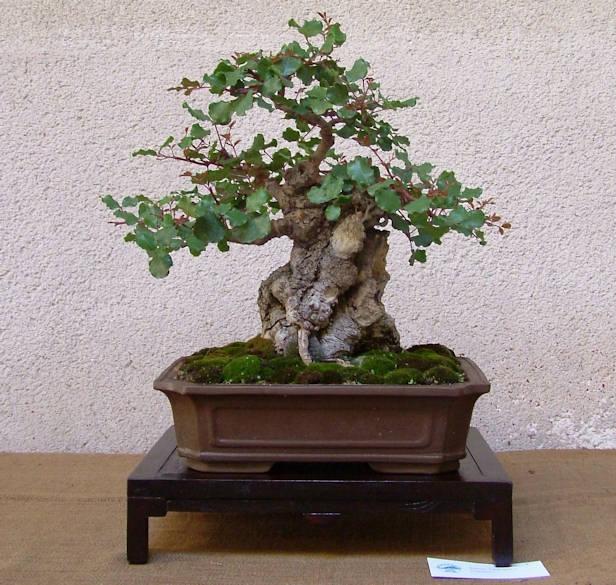 Mostra bonsai Club Palermo Immagi19