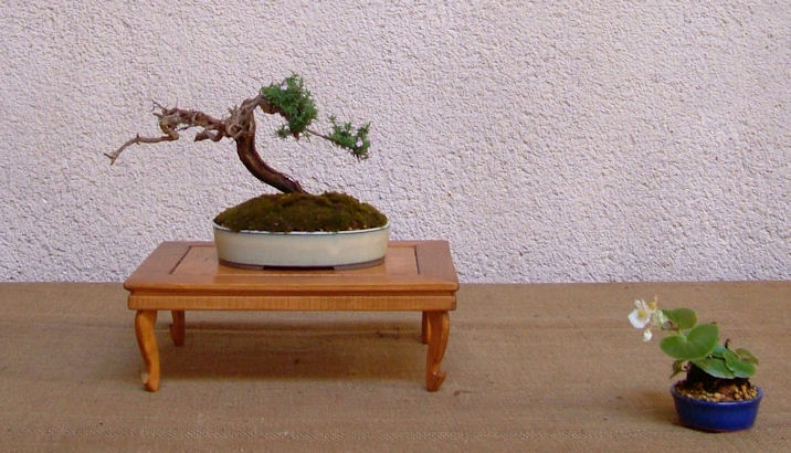 Mostra bonsai Club Palermo Immagi21